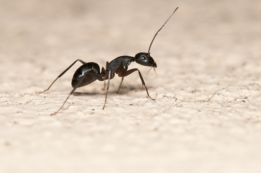 prevent ants and learn what you can do to control them from Boz Pest Control.