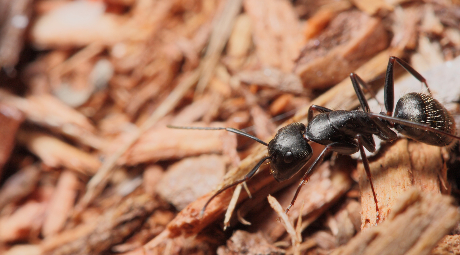 carpenter ants vs termites and the differences between them