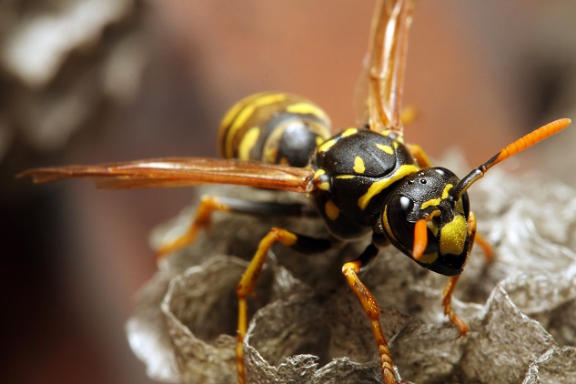yellow jackets and wasps and how you can prevent them from bothering your home.