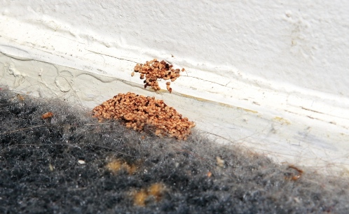 drywood termites and information on them.