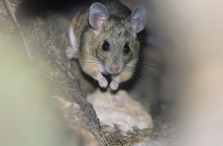 Boz Pest Control 15 Sanderson Ave Lynn MA 01902 782-599-5300 mouse invasions
