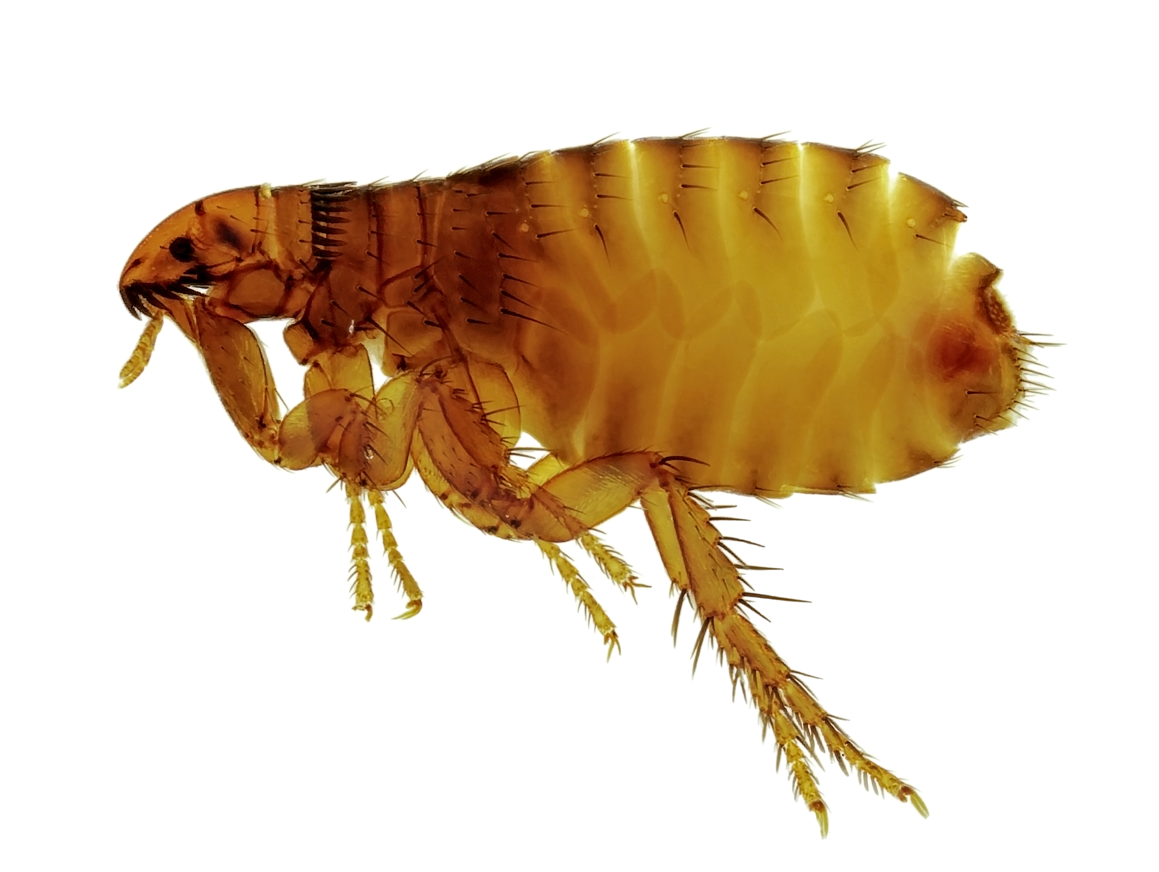 a single flea