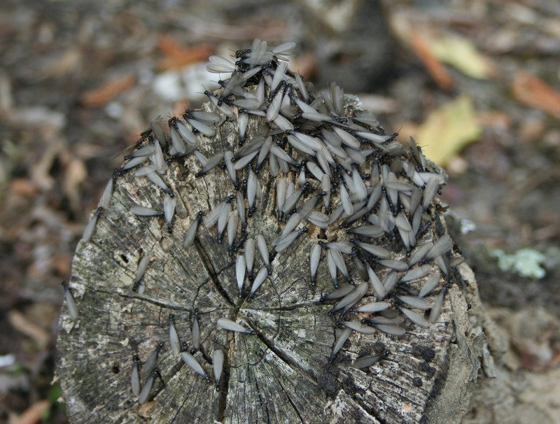 Flying termites on a log