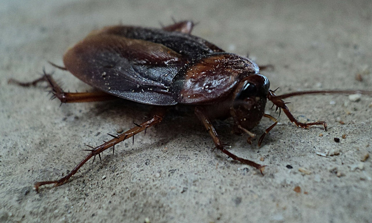 summer cockroach in Massachuestts in Boz Pest Control